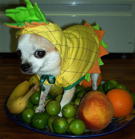 is pineapple bad for dogs howl o ween has to the dogs 55 pics of dogs in costumes 2009 edition