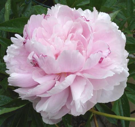 light pink peonies peonies types of flowers flower muse spring flowers bouquet wedding flower