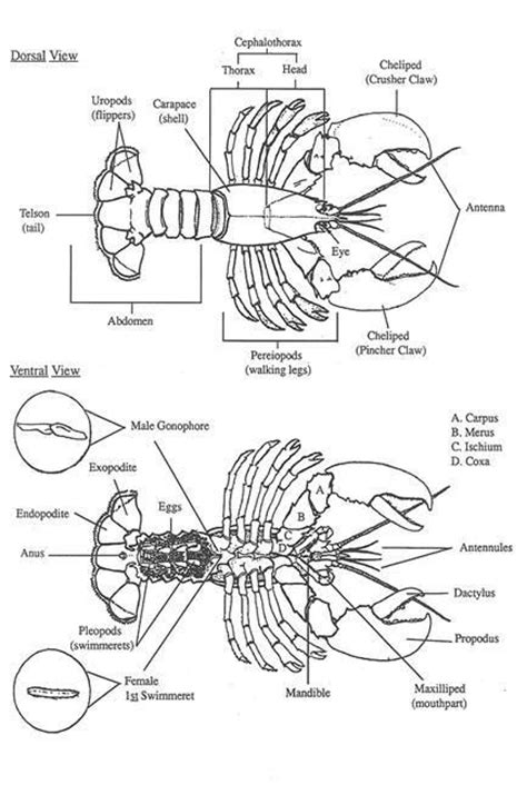 lobster trap diagram fig 10 diagrams of the dorsal top surface and ventral