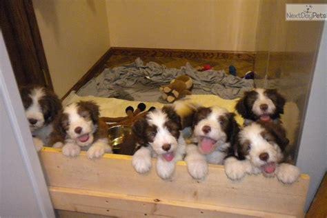 puppies for sale in manhattan ks bearded collie puppy for sale near manhattan kansas 74fd07f5 d0c1