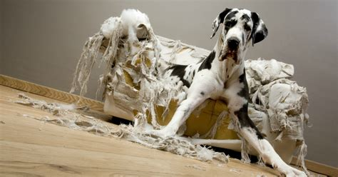 Why Do Dogs The Sofa by Why Consistency With Dogs Is Key To Happiness Doggycrap