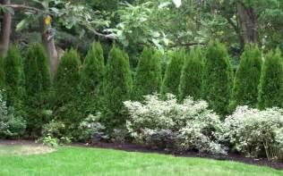 emerald green arborvitae picture gardenality