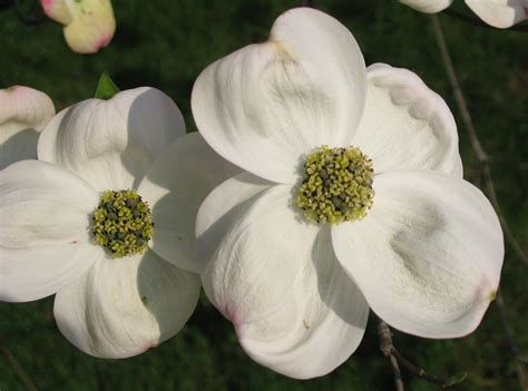 north carolina flower file cornus florida flowers 03 by line1 jpg wikimedia