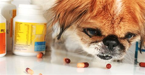 read   giving  dog antibiotics