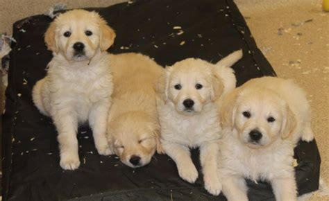 golden retriever dubai beautiful golden retriever puppies pets for sale dubai city