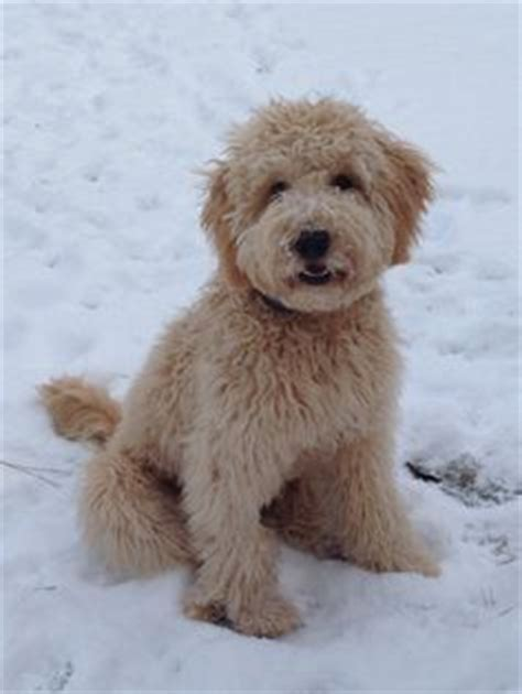 goldendoodle puppy mill rescue goldendoodles needing rescue breeds picture