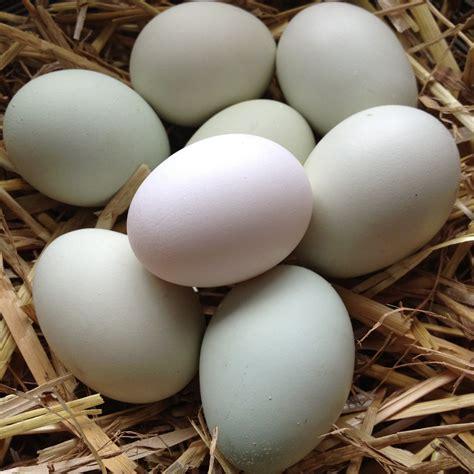 east egg blue chicken eggs god home chickens
