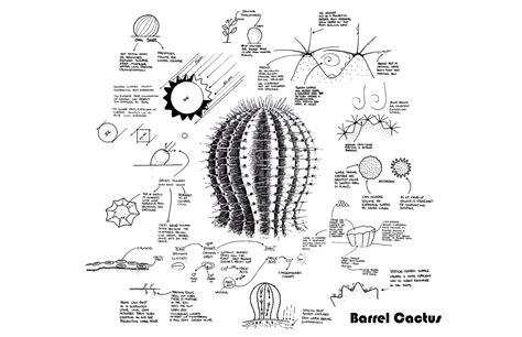 saguaro cactus diagram learning from a barrel cactus bouncing ideas