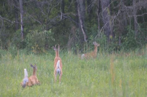 how to find deer bedding areas how to find whitetail deer bedding areas hunting is not just for gu