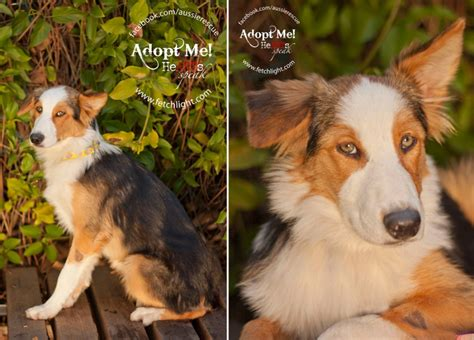 puppy adoption san diego aussie rescue san diego adoptable dogs in october 187 fetchlight pet lifestyle