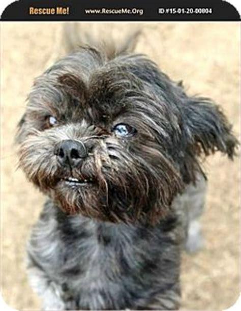 shih tzu poodle mix temperament boulder co shih tzu poodle miniature mix meet bernard a for adoption