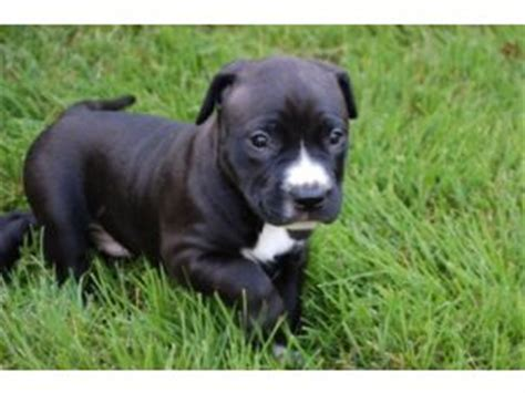 pitbull puppies for sale in ct nose pitbull puppies for sale in ct breeds picture