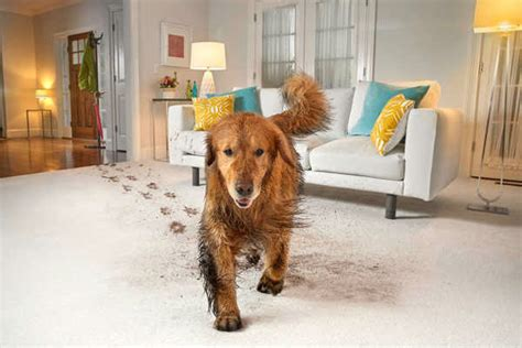 puppy on carpet carpet care commercial cleaning