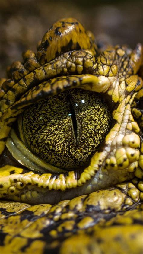 wallpaper eye crocodile wild eyes reptilies animals