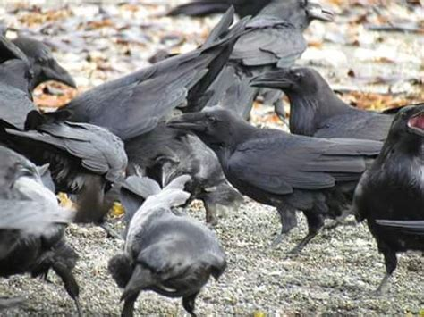 481 best images about ravens other corvids on pinterest