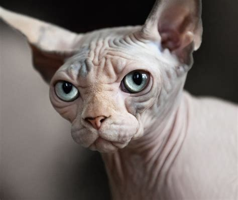 Sphynx cat breeders in Canada on PickapawSphynx in Canada