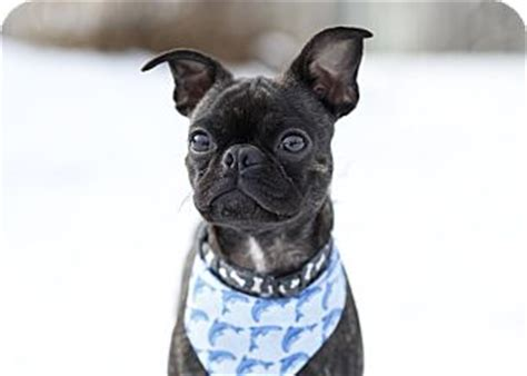 boston terrier pug mix for adoption adopted ile perrot qc boston terrier pug mix
