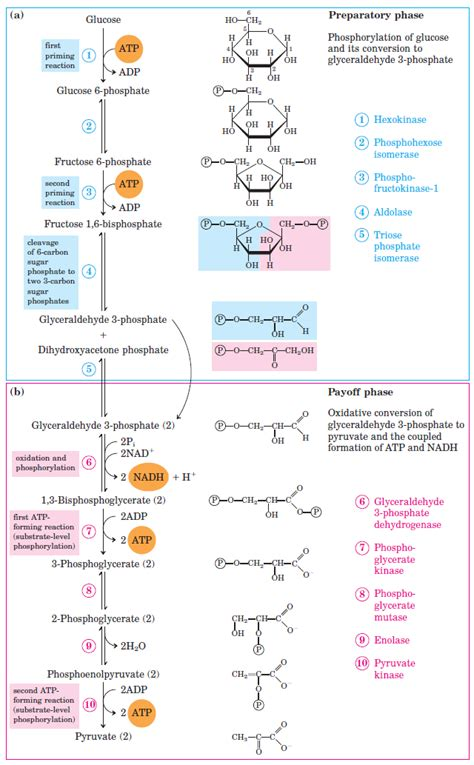 diagram of glycolysis glycolysis all steps with diagram enzymes products