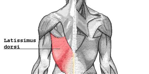 anatomy   latissimus dorsi muscle bodybuilding