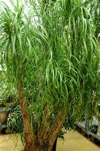 beaucarnea cultiver et entretenir ooreka