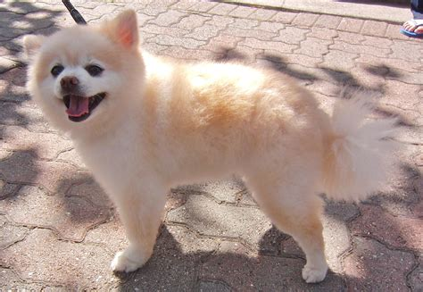 pomeranian husky for sale houston pomeranian husky teacup grown breeds picture