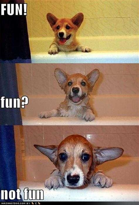 dog in a bathtub position funny corgi photos mycorgi com