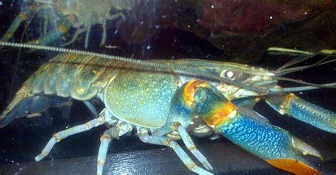 Pembenihan Lobster Air Tawar ajas manfaat budidaya lobster air tawar