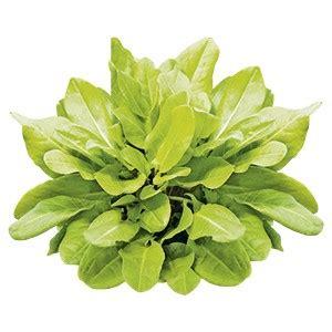 erbe aromatiche in vaso acetosa aromatiche coltivazione cucina ed erboristeria