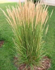 grasses for landscaping myers landscape nursery ornamental grasses