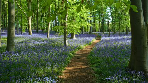 Wood From The Uk by A Path Through The Bluebell Wood At Coton Manor