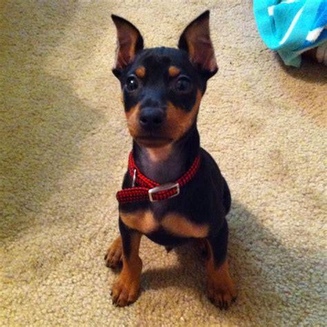 miniature doberman puppies 53 best miniature doberman pinschers images on miniature doberman pinscher