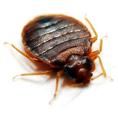 show a picture of a bed bug bed bugs bed bug exterminators pinpoint