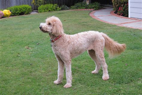 summer cuts golden doodle the gallery for gt full grown goldendoodle