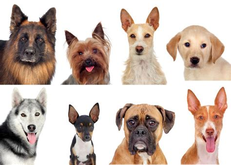 breed dna test are breed dna tests accurate