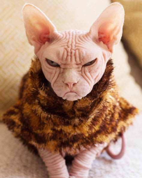 This sphynx cat has the grumpiest face you'll EVER see