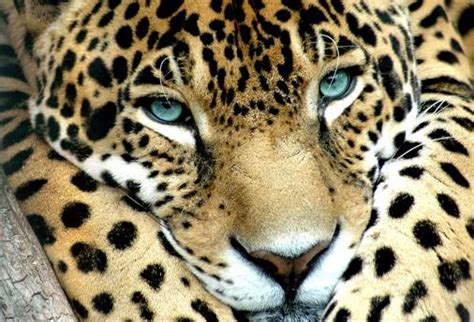 all about jaguars meet the terrifically powerful rainforest animal the jaguar