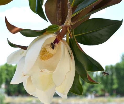 Tanaman Hias Cempaka Kelopak Ungu daftar nama bunga lengkap beserta gambar dan penjelasannya