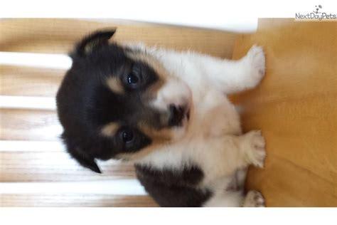 corgi puppies for sale in iowa corgi corgi pembroke puppy for sale near des moines iowa fc71e43f f081