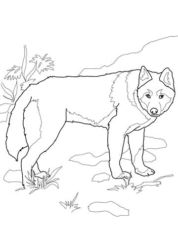 Coloriage - Dingo (Chien sauvage) | Coloriages à imprimer