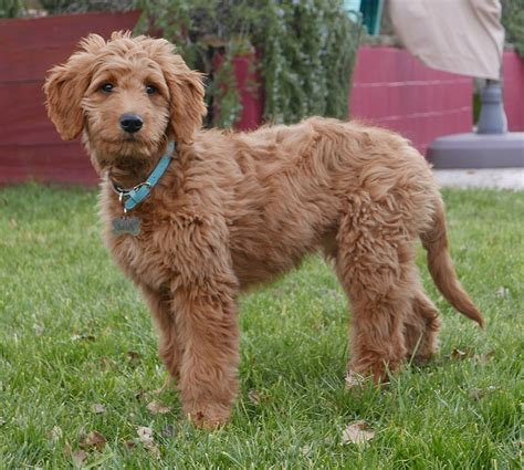 how much should my golden retriever puppy weigh goldendoodle