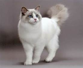 cat color patterns with ragdolls ragdoll cat colors patterns explained