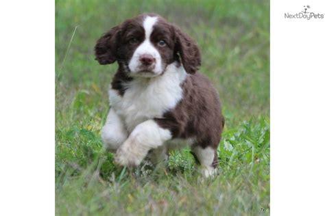 springer spaniel puppies michigan ty springer spaniel puppy for sale near grand rapids michigan a552fbc9 9c11