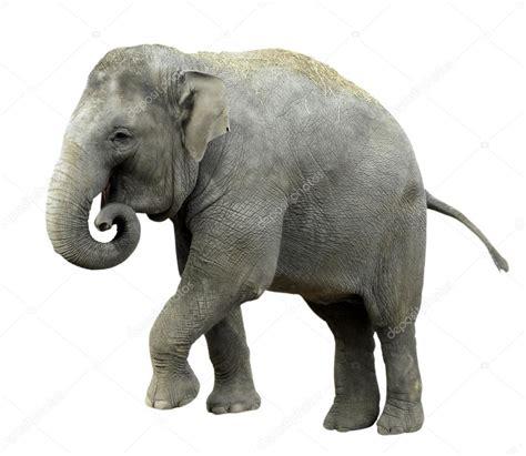 Isolated Asian Elephant — Stock Photo © Christian #2605445