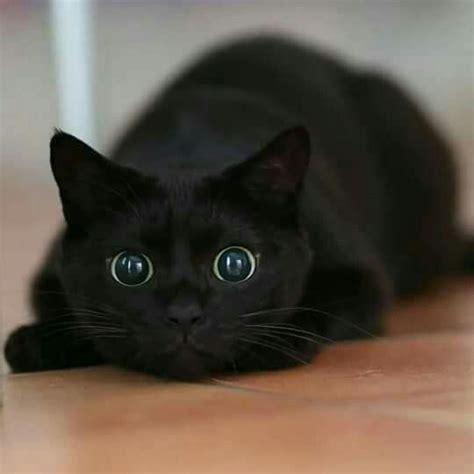 ideas  black kittens  pinterest kittens