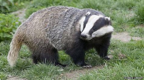 badger animalstodraw