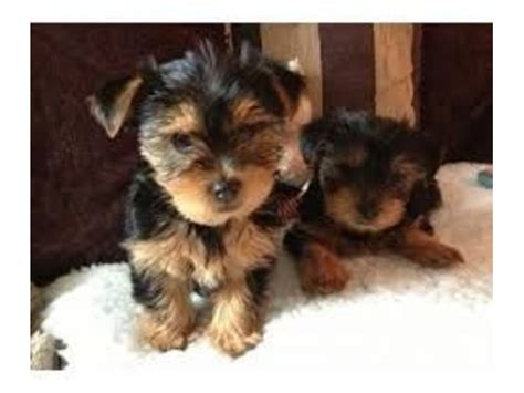 teacup yorkie springfield mo teacup yorkie two and animals springfield missouri announcement 26363