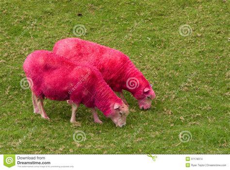 Sheep Pink pink sheep stock images image 37178374