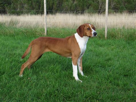 Foxhound Shedding by Foxhound All Big Breeds