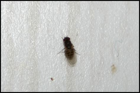 tiny black flies in the house tiny black flies in the house
