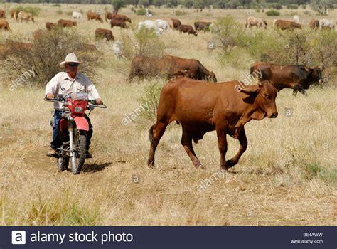 australian cattle cowboys cowboy on a motorbike driving cattle longreach